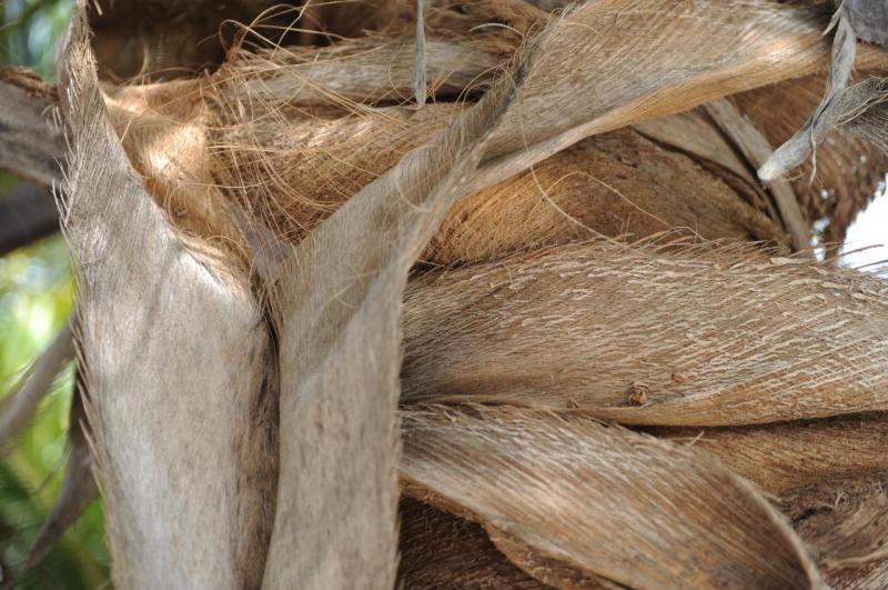 Détail d'un cocotier
